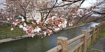 画像_桜.JPG